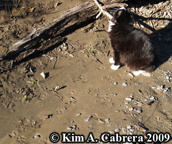 Domestic cat investigating bobcat scent post.  Photo copyright Kim A. Cabrera 2009.