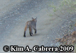 Bobcat I saw on a dirt road in the forest.                       Photo copyright by Kim A. Cabrera 2009.