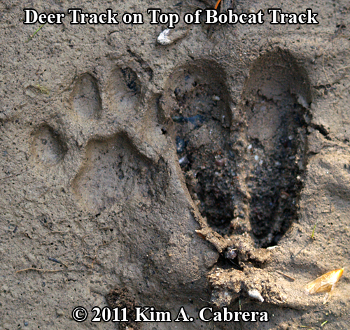 deer on bobcat track