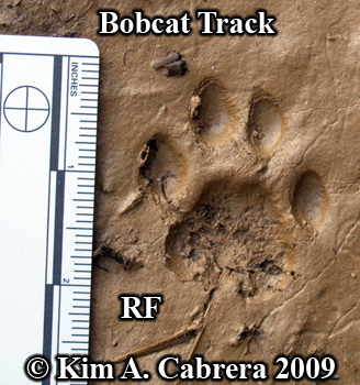 Bobcat pawprint from right front foot. Photo                       copyright 2009 Kim A. Cabrera.
