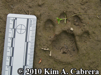 muddy bobcat print. Photo by Kim A. Cabrera.