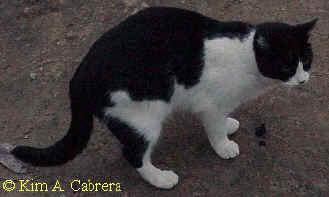 Animal Tracks - Domestic Cat (Felis catus formerly Felis