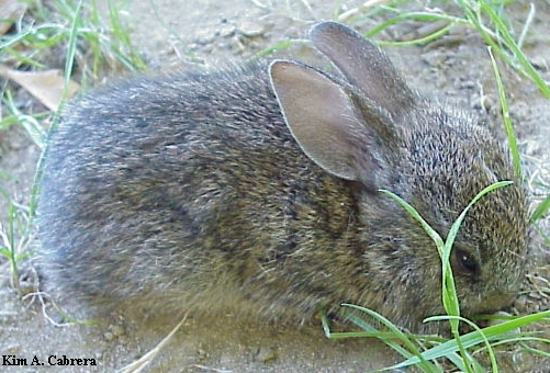 Young brush rabbit.