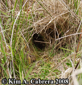 Brush rabbit tunnel entrance in grass. Photo copyright Kim A. Cabrera 2008.