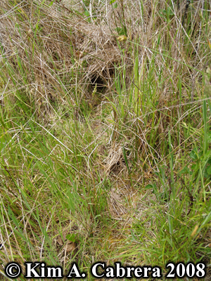 Brush rabbit run in grass. Photo copyright Kim A. Cabrera 2008.