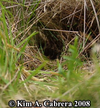 Brush rabbit grass tunnel. Photo copyright Kim A. Cabrera 2008.