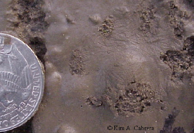 Cat track in fine mud showing the fur details on the bottom of the foot. Quarter for size comparison.
