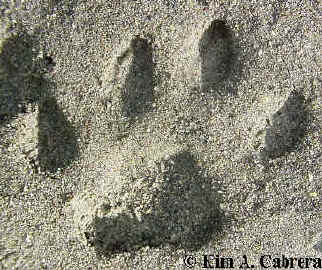domestic cat track