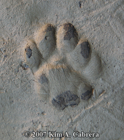 cat track that appears to have five toes
