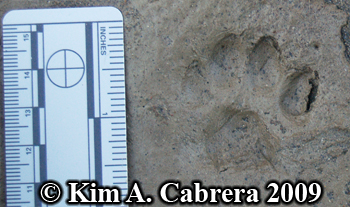 Domestic cat track. Photo copyright Kim A. Cabrera 2009