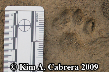 Domestic cat track after a rain. Photo copyright Kim A. Cabrera 2009