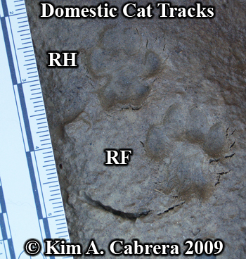 Domestic cat track pair. Photo copyright Kim A. Cabrera 2009