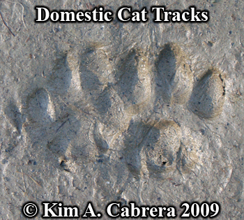 Domestic cat tracks pair in sun. Photo copyright Kim A. Cabrera 2009