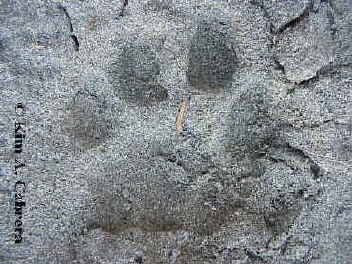 canine vs feline tracks how to tell the difference between them