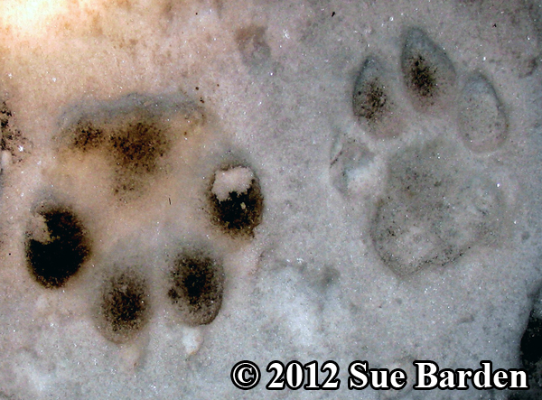 donated image of cougar and dog tracks
