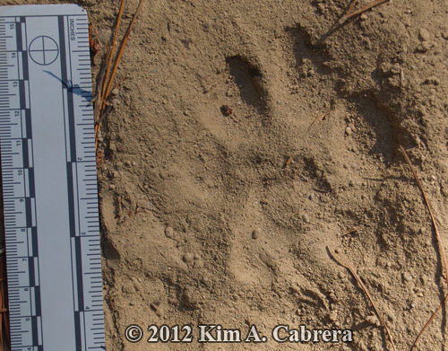 left hind track of cougar