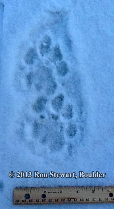 Cougar tracks found in Boulder CO