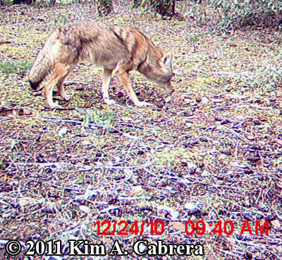 curious coyote with nose to ground