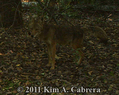 coyote scent marking