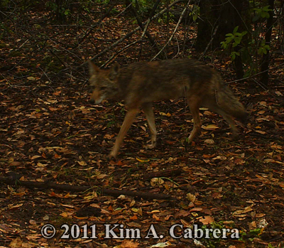 coyote at new trail cam