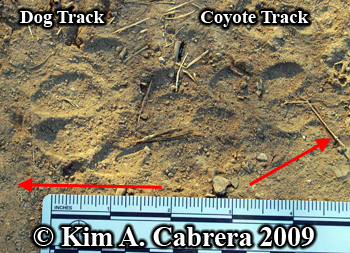 Coyote and dog tracks. Photo copyright by Kim A. Cabrera 2009.