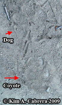 Coyote track with dog track. Photo copyright by Kim A. Cabrera 2009.