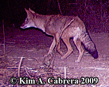 Coyote. Photo copyright by Kim A. Cabrera 2009.
