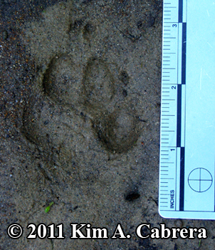 coyote track showing claws