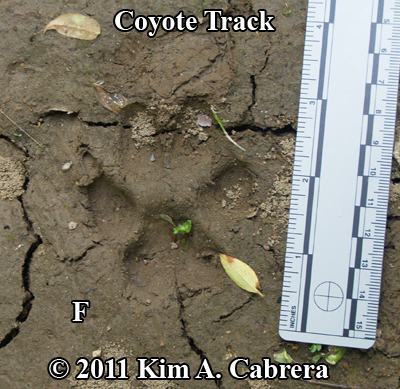 perfect coyote track in mud