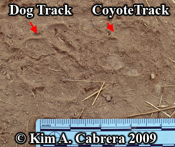 Coyote track and dog track. Photo copyright by Kim A. Cabrera 2009.