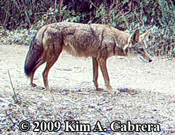 Coyote. Photo copyright 2009 by Kim A. Cabrera.