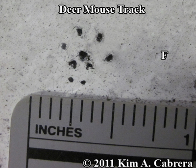 deer mouse front track