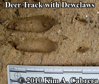 deer track with dewclaws. Photo by Kim A. Cabrera