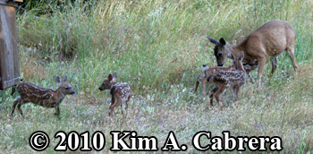doe with four fawns. Photo by Kim A. Cabrera