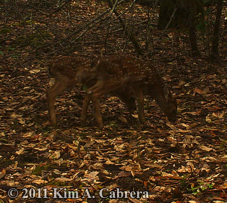twin fawns in the forest
