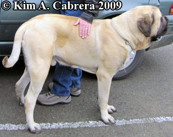 large dog breed Mastiff. Photo copyright Kim A. Cabrera