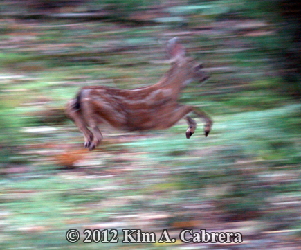 fawn running away using the stotting gait