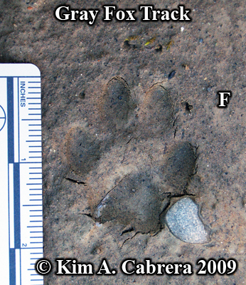 Gray fox track in sand. Front track. Photo by Kim A. Cabrera 2009.