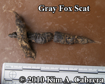 gray fox scat deposited on dumpster lid. Photo copyright Kim A. Cabrera.
