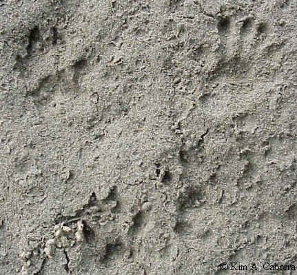 Animal Tracks - Raccoon Trail Pattern - Beartracker's Animal