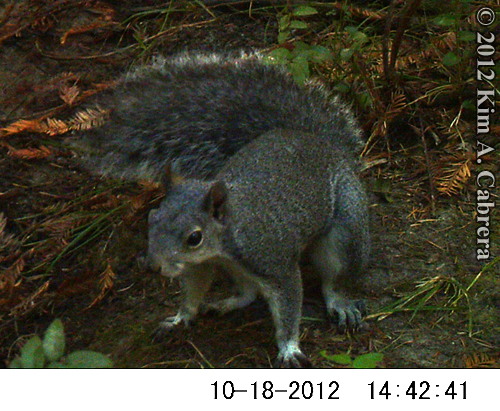gray squirrel looking at my trail camera