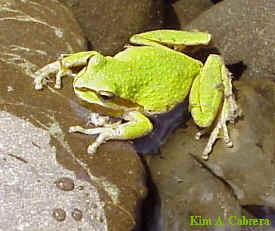Pacific treefrog in green color phase.