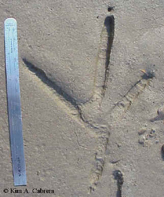 Heron                     track with 6-inch ruler for size comparison.