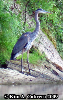Great blue                       heron. Photo coopyright Kim A. Cabrera 2009.
