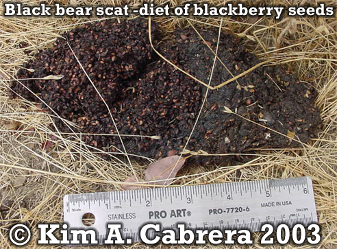 Black bear scat. Copyright by Kim A. Cabrera 2003.