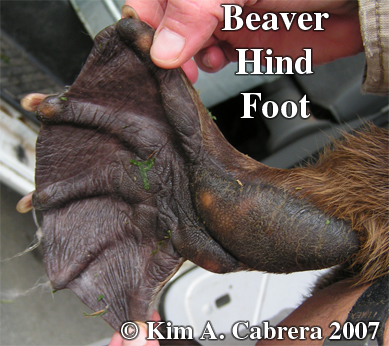 Beaver hind foot. Photo copyright Kim A.                     Cabrera 2007. Thanks to Wild Things!