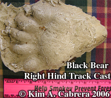 Black bear hind track cast. Photo copyright by Kim A. Cabrera.