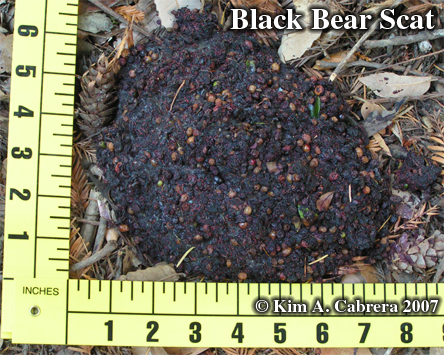 Black bear scat. Photo copyright by Kim A. Cabrera.