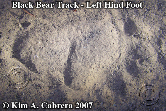Black bear hind track. Photo copyright by Kim A. Cabrera.