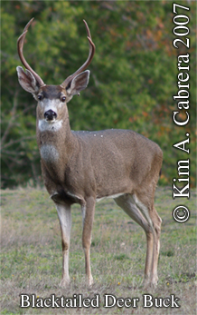 Blacktailed deer buck. Photo copyright by Kim A. Cabrera 2007. Do not use without permission.